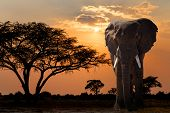 Africa Sunset Over Acacia Tree And Elephant poster