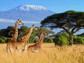 Three Giraffe On Kilimanjaro Mount Background poster