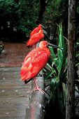stock photo of scarlet ibis  - Three Scarlet Ibis