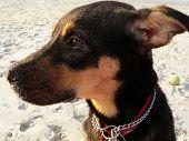 Puppy Gazing On Beach poster
