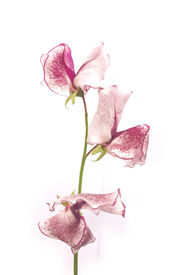 foto of sweet pea  - single sweet pea stem over white background  - JPG