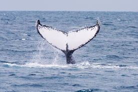 stock photo of cetacea  - Humpback jubarte Whale of abrolhos islands in bahia state brazil - JPG