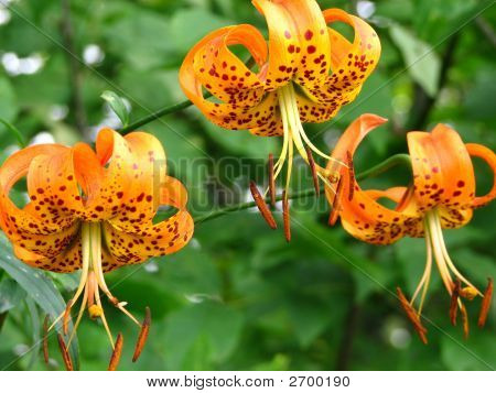 Orange Michigan Lily