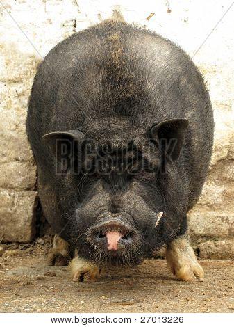 Vietnamese pig potbellied hog