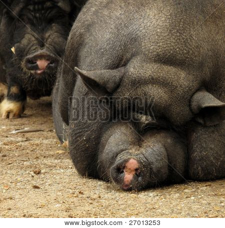 Pot-bellied Vietnamese pig pair sow and hog