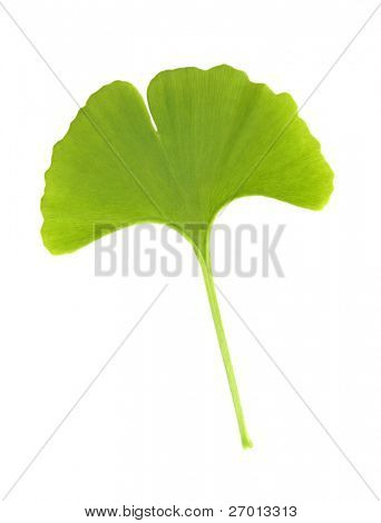 Ginkgo biloba leaf on white