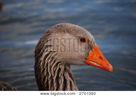 Closeup Of Goose