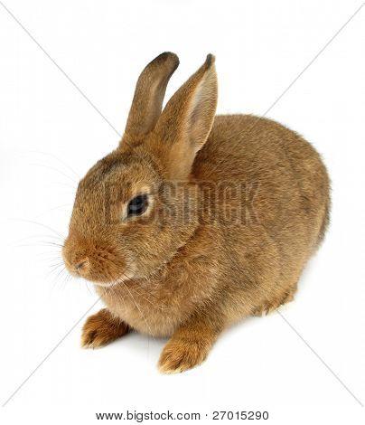 Rabbit isolated on white background