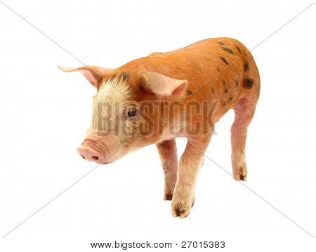 Orange pig with spots