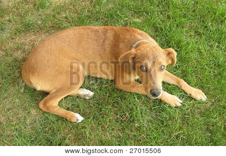 Dog mongrel pariah lying on grass field