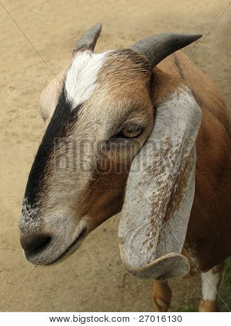 Goat with long ears