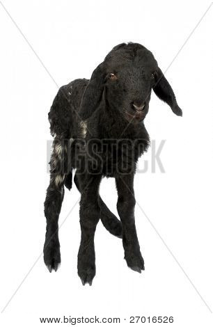 Black lamb baby sheep
