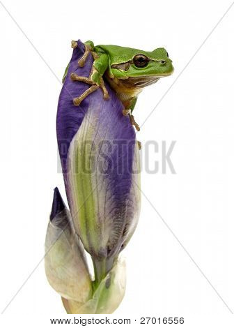 Frog is watching environment from iris flower bud