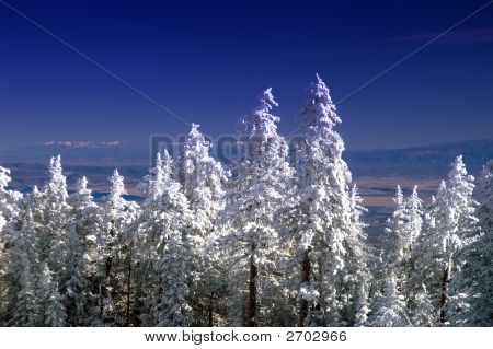 New Mexico Mountain Winter Pine Trees In Snow
