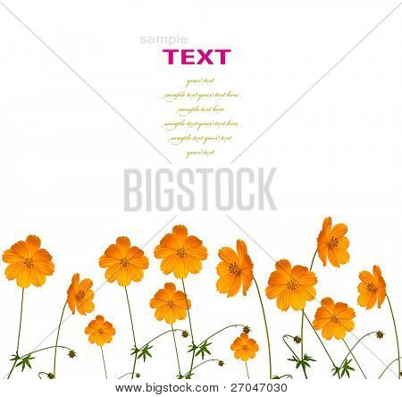 Beautiful yellow flower (Cosmos) isolated on white background with copy-space.