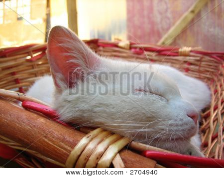 Sleeping White Cat