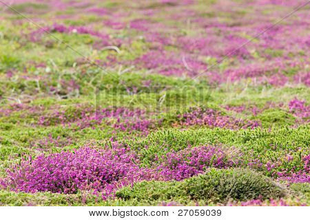 heather carpet, Ouessant island, France brittany