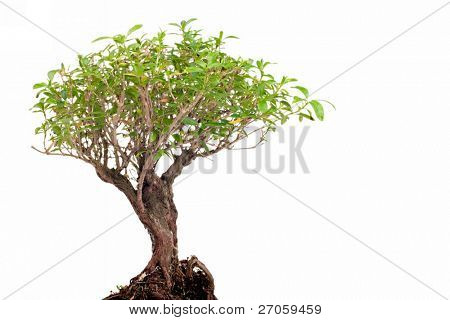 bonsai tree closeup  isolated on white background