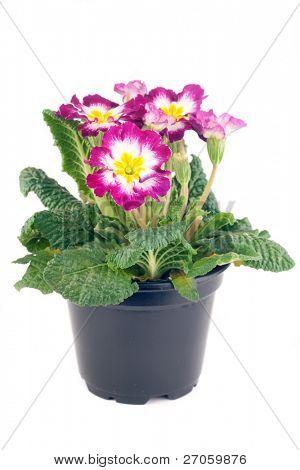 tricolor hybrid primrose in plastic black pot