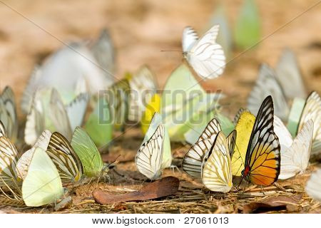 many pieridae butterflies gathering water on floor, kaeng krachan national park, thailand