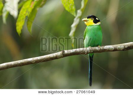 colorful bird long tailed broadbill on tree branch, kaeng krachan national park, thailand