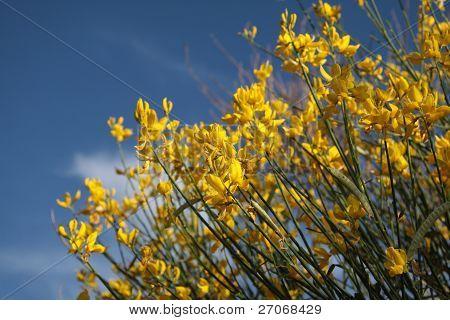 Yellow Gorse Bush