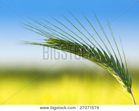 oats-close up