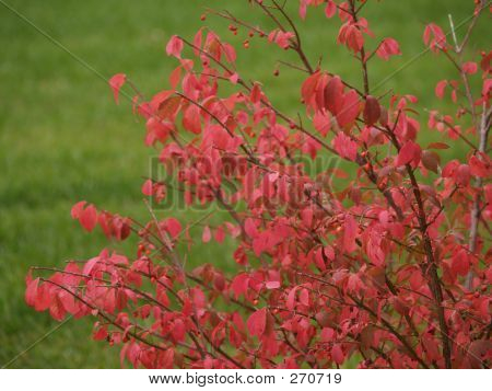 Fall Burning Bush