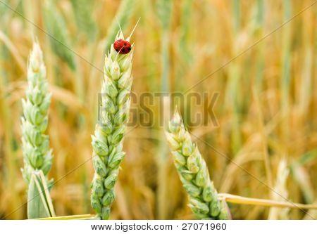 golden wheat and ladybug