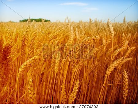 gold yellow wheat