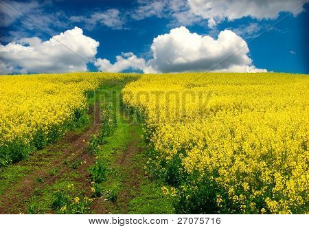 oilseed rapeseed, field