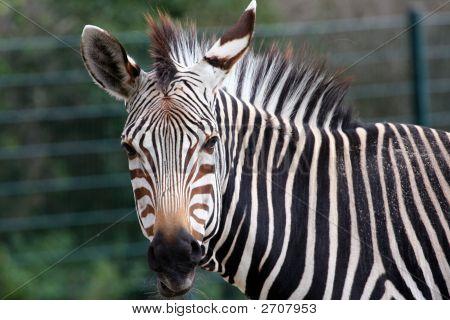 Die Grevy-Zebra-Portrait