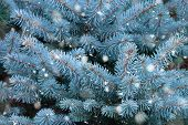 Blue Spruce Branches With Snow. Winter Background. Christmas Tree Branches With Needles. Blue Spruce poster