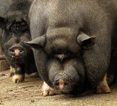 stock photo of pot bellied pig  - Potbellied Vietnamese pig pair sow and hog - JPG