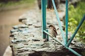 Small Young Wet Sparrow Sits On Blue Fence Of Backyard In Rainy Weather With Copy Space. Bright Back poster