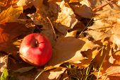 A Red Apple Fallen From A Tree Is Lying On The Ground On Fallen, Faded Orange Brown Maple Leaves poster
