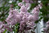 Lilac Blooms A Beautiful Bunch Of Closeup Flowering Bloom Flowers In The Garden poster