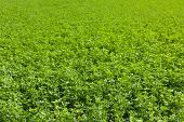 large alfalfa field in french country