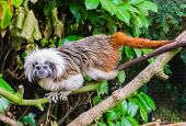 Tamarin Monkey Walking Over A Branch, A Rare And Critical Endangered Animal Specie poster