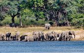 Herd Of African Elephant With Babies, Loxodonta On Waterhole In Bwabwata, Caprivi Strip Game Park, N poster