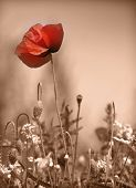 stock photo of poppy flower  - poppy - JPG