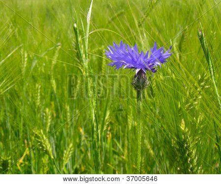 Cornflower And Wheat