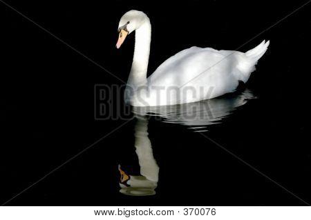 Cisne en el agua