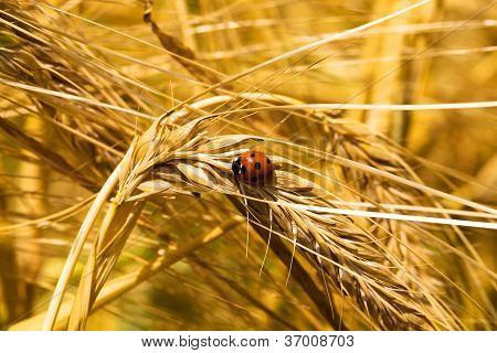 Ear Of Wheat (macro)