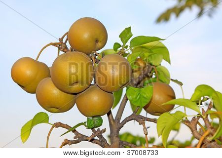 Pears Fruitful Hung On The Branches