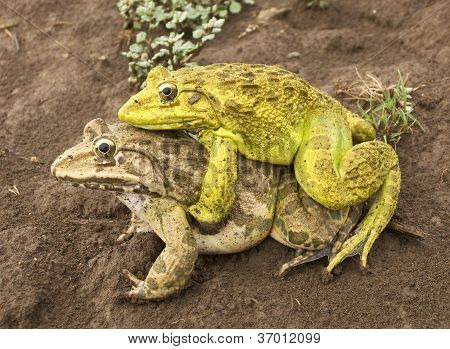 Frog Sex Animal Mating