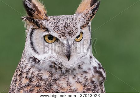Great Horned Owl (Bubo virginianus) Looks Right