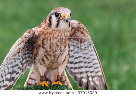 American Kestrel (Falco sparverius) Spreads Wings