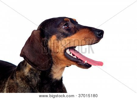 Beautiful dog teckel yawning isolated on white background