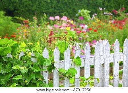 A grape vine growing on an old white picket fence surrounding a flower garden.